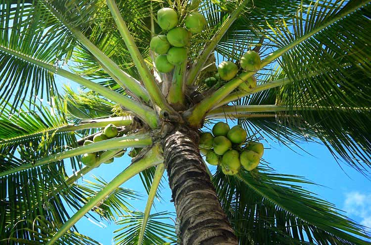 Interesting Facts about the Virgin Coconut Oil Industry in the Philippines